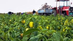 Farm Workers Harvesting Yellow Bell Pepper. Group of workers picking bell pepper at the plantation beside tractor. Seasonal harvest of vegetables in the stock images