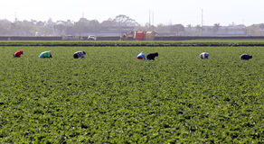Farm Workers in Oxnard Stock Image
