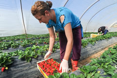 farm workers pick and package strawberries stock images