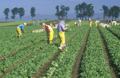 Farm workers picking vegetables Stock Images
