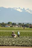 Farm Workers in Richmond British Columbia Royalty Free Stock Image