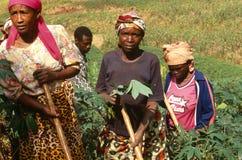 Farm workers, Uganda Stock Image
