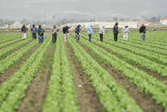 Farm Workers at Work. A group of farm workers hoe a large field along California's central coast Royalty Free Stock Photo
