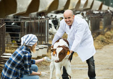 Farm workers with young cattle in cowhouse Stock Images