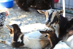 Farm yard goats stock photos