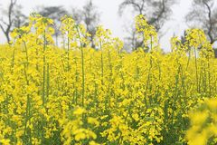 A farm of yellow mustard with green stem in clear sky stock photography