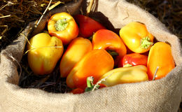 Farm yellows peppers on sack Stock Images