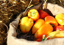Farm yellows  and red peppers on sack Stock Photo