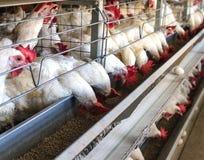 Farma drobiu dla lęgowych kurczaków, kurczaków jajka iść przez transporteru, kurczaków i jajek, przemysł obraz royalty free