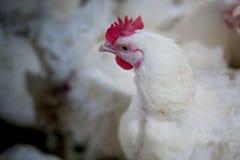Farma drobiu kurczaka biznesu gospodarstwo rolne obrazy stock