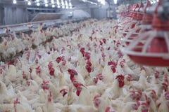 Farma drobiu kurczaka biznesu gospodarstwo rolne Zdjęcie Stock