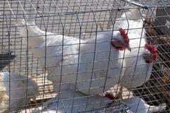 Farma drobiu, kurczaki siedzi w na otwartym powietrzu klatkach i je mieszan? karm? na konwejer?w pask?w k?amstwa ` s kurnych jajk fotografia stock