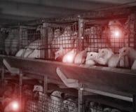 Farma drobiu z chorymi kurczakami emidemia i kurczak choroby, weterynaryjne fotografia stock