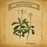 Farmacista naturale Wintergreen royalty illustrazione gratis