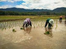 Farmar Life. Farmers are planting rice In Ban-Hong , Lamphun, Thailand Royalty Free Stock Photography