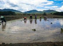 Farmar Life. Farmers are planting rice In Ban-Hong , Lamphun, Thailand Royalty Free Stock Photo