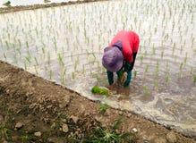 Farmar Life. Farmers are planting rice In Ban-Hong , Lamphun, Thailand Royalty Free Stock Image