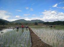 Farmar Life. Farmers are planting rice In Ban-Hong , Lamphun, Thailand Stock Image