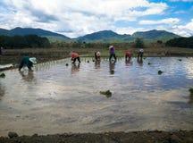 Farmar Life. Farmers are planting rice In Ban-Hong , Lamphun, Thailand Stock Photography
