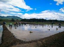 Farmar Life. Farmers are planting rice In Ban-Hong , Lamphun, Thailand Royalty Free Stock Photos