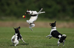 Farmdogs. Three danish/swedish farmdogs playing with a ball Royalty Free Stock Photo