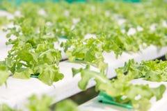 Farme della verdura di coltura idroponica Immagini Stock Libere da Diritti
