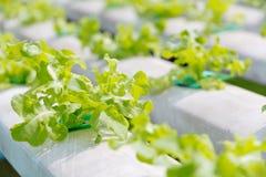 Farme della verdura di coltura idroponica Immagine Stock Libera da Diritti