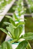 Farme della verdura di coltura idroponica Fotografia Stock Libera da Diritti