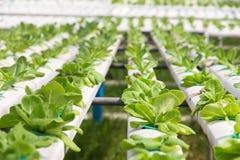 Farme della verdura di coltura idroponica Fotografia Stock