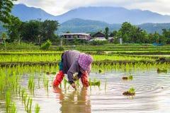 Farme på Thailand i fält Royaltyfria Bilder