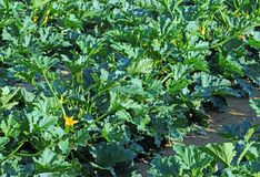 Farmed agricultural field of zucchini with blossomed flowers. Farmed agricultural field of ripe zucchini with blossomed flowers Stock Images