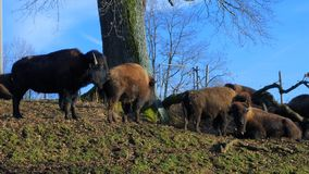 Farmed Bison, Buffaloes. Cattle Bisons at Pature, Bavaria, Germany, Europe stock footage