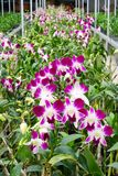 Farmed orchids in greenhouse. Orchids grown in a farm greenhouse on Sumatra, Indonesia, for sale to retail outlets across the world stock image