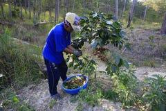 Farmer με ένα καλάθι που συγκομίζει τον κόκκινο καφέ όντας στη φυτεία καφέ Στοκ Φωτογραφίες