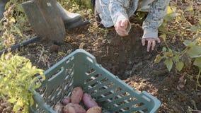 Farmer με τα παιδιά που συγκομίζουν την οργανική γλυκιά πατάτα στον τομέα του αγροκτήματος eco απόθεμα βίντεο
