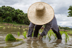 Farmer με τα σπορόφυτα ρυζιού μεταμόσχευσης καπέλων αχύρου στον τομέα ορυζώνα Στοκ εικόνα με δικαίωμα ελεύθερης χρήσης