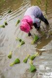 Farmer με τα σπορόφυτα ρυζιού μεταμόσχευσης καπέλων αχύρου στον τομέα ορυζώνα Στοκ Εικόνα