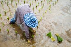 Farmer με τα σπορόφυτα ρυζιού μεταμόσχευσης καπέλων αχύρου στον τομέα ορυζώνα Στοκ Φωτογραφία