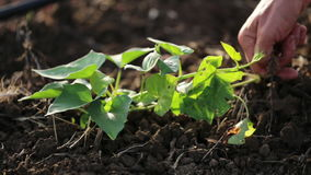 Farmer με τη σκαπάνη που βοτανίζει τον τομέα με τη νέα αύξηση της γλυκιάς πατάτας στο οργανικό αγρόκτημα φιλμ μικρού μήκους