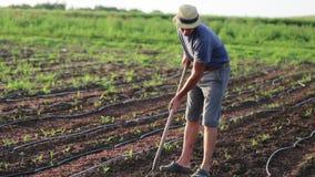 Farmer με τη σκαπάνη που βοτανίζει τον τομέα με τη νέα αύξηση του καλαμποκιού στο οργανικό αγρόκτημα eco απόθεμα βίντεο