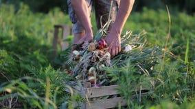 Farmer με το κρεμμύδι οικογενειακής επιλογής στον τομέα του οργανικού αγροκτήματος απόθεμα βίντεο