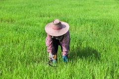 Farmer που λειτουργεί στον πράσινο τομέα ρυζιού Στοκ εικόνα με δικαίωμα ελεύθερης χρήσης