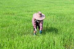 Farmer που λειτουργεί στον πράσινο τομέα ρυζιού Στοκ Φωτογραφία