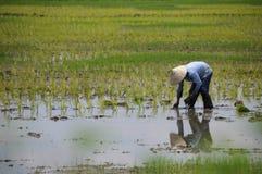 Farmer που λειτουργεί στο ρύζι τομέων ορυζώνα Στοκ Εικόνες
