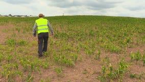 Farmer που ελέγχει cornfield απόθεμα βίντεο