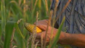 Farmer που επιθεωρεί το σπάδικα καλαμποκιού στον τομέα του απόθεμα βίντεο
