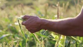 Farmer που επιθεωρεί sweetcorn για τα παράσιτα στον τομέα του οργανικού αγροκτήματος απόθεμα βίντεο