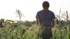 Farmer που επιθεωρεί sweetcorn στον τομέα του οργανικού αγροκτήματος φιλμ μικρού μήκους