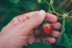Farmer που επιλέγει τη φρέσκια οργανική homegrown φράουλα στοκ φωτογραφία
