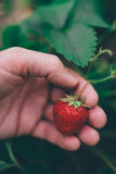 Farmer που επιλέγει τη φρέσκια οργανική homegrown φράουλα στοκ φωτογραφίες με δικαίωμα ελεύθερης χρήσης